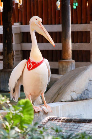 pelikan: Showing pelican in a zoo