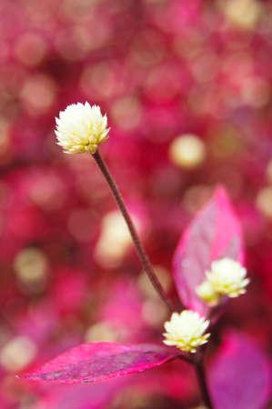 White globe amaranth photo