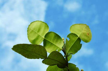 ble: bergamot leaves in ble sky Stock Photo