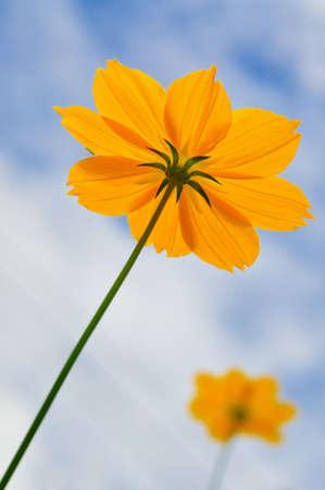 tickseed: tickseed flower in blue sky Stock Photo