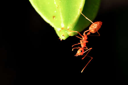 macro on carambola young fruit and ant photo