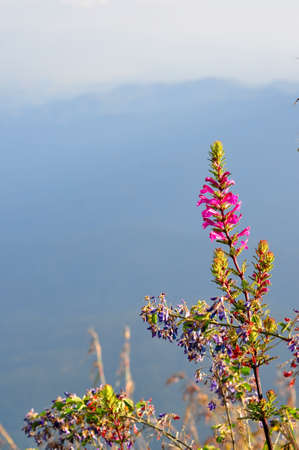 Rare flower of ChiangDao mountain, Thailand Stock Photo - 12163952