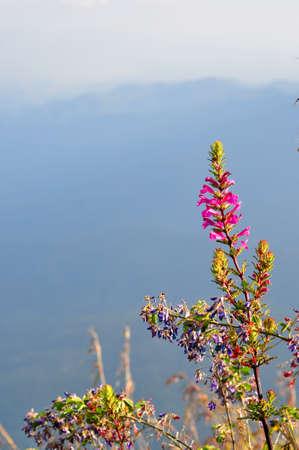 Rare flower of ChiangDao mountain, Thailand Stock Photo - 12163952