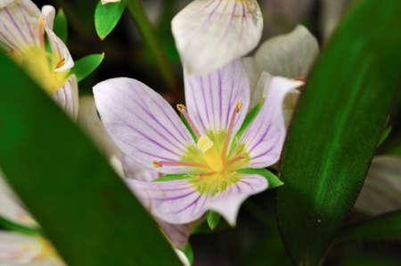 a rare: Rare flower of ChiangDao mountain, Thailand Stock Photo