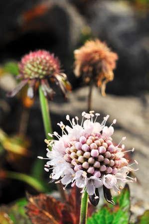 Rare flower of ChiangDao mountain, Thailand Stock Photo - 12163960