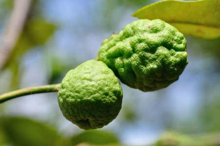 bergamot fruits Stock Photo - 14228038
