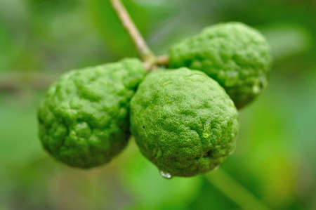 bergamot fruits Stock Photo - 14228039