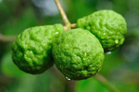 bergamot fruits Stock Photo - 14228048