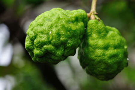 bergamot fruits Stock Photo - 14228046