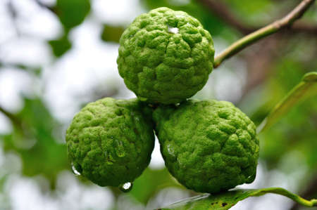 bergamot fruits Stock Photo - 14228042