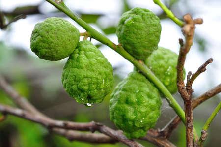 sanguijuela: bergamota frutos