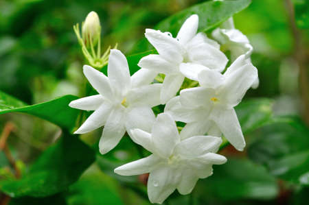 White Jasmine Flower Stock Photo - 14228562
