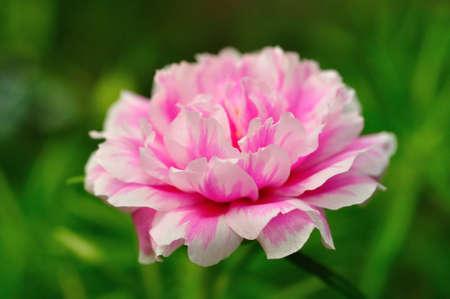 Pink pigweed flower photo