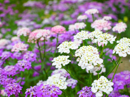 Candytuft flower Stock Photo - 14596275