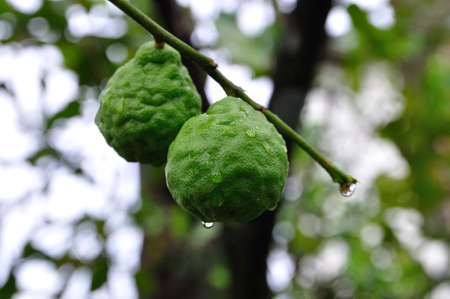 Two bergamot fruits Stock Photo - 14648883
