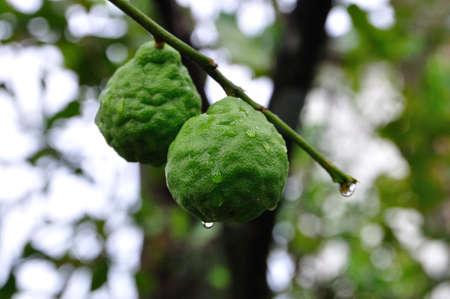Two bergamot fruits Stock Photo - 14648883