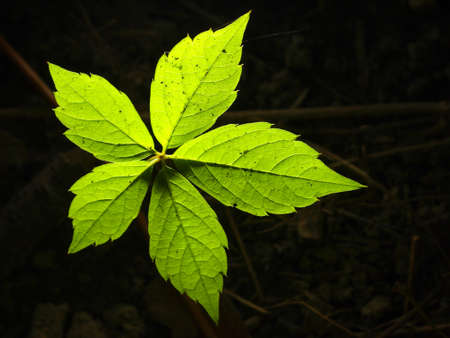 Glowing pentacular leaf Stock Photo