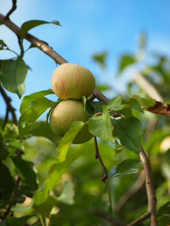 Raw apples on an apple tree