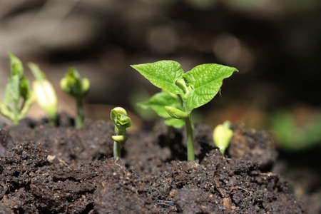seedlings of beans Stock Photo - 7489106