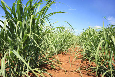 young sugarcane growing photo