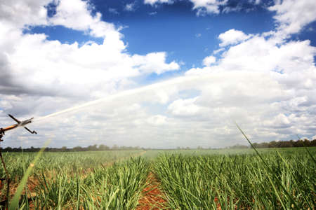 a plantation o fyoung  sugar cane growing Stock Photo - 7489115