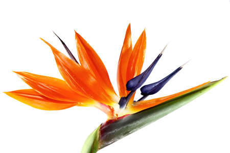 a single bird of paradise flower