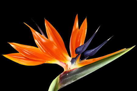 bird of paradise flower on black background photo