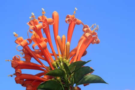 a orange honeysuckle flower with blue sky photo