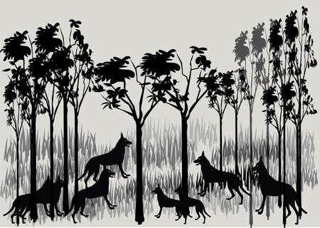 dingo: a large pack of dingos from Australia