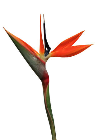 bloom bird of paradise: bird of paradise flower on a white background Stock Photo
