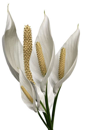 a bunch of peace lillies on white background