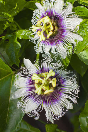 two passionfruit flowers growing on a vine