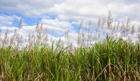 sugarcane in flower with sky background photo