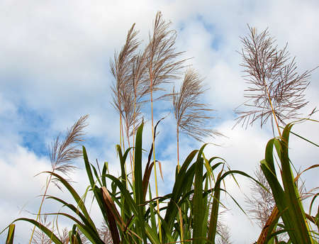 sugar cane in flower ready for harvest Stock Photo - 9872042