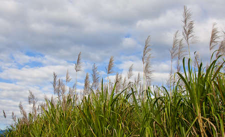 sugar cane in bloom with sky background photo