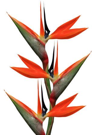 flores exoticas: ave del paraíso flores sobre un fondo blanco Foto de archivo