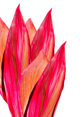 cordyline: pink tropical leaves on a white background