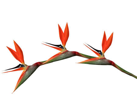 bird of paradise flowers arching on a white background photo