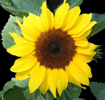 bright yellow sunflower on black background photo