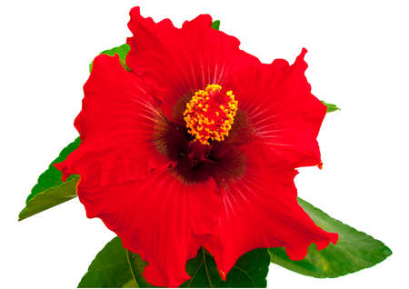 spanish lady hibiscus flower on a white background photo