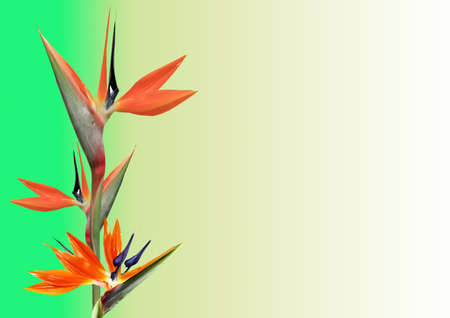 bird of paradise plant: bird of paradise flower  with room to write greeting Stock Photo