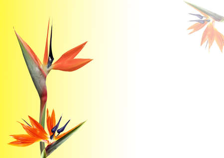 bird of paradise flower on yellow background with room to write photo