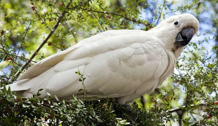 a white cockatoo in the bush feeding on berries photo