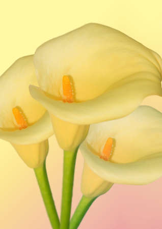 three arum flower in a bunch with yellow background photo