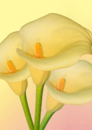 fleur arum: trois fleurs d'arum dans un tas sur fond jaune