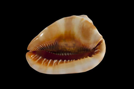 a single large cowrie shell on a black background photo