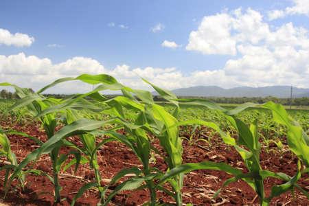baby corn growing on a fertile soil farm Stock Photo - 11869984