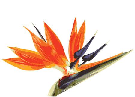 ave del paraiso: pájaro de la flor del paraíso en un fondo blanco Foto de archivo