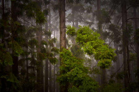 pine trees during a heavy downpour of rain photo