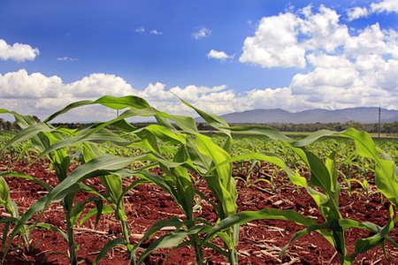baby corn growing on a fertile soil farm Stock Photo - 12447440